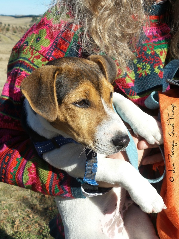 Frisbee, the baby truffle dog from Turalla Truffles at Bungendore - photo Liz Posmyk Good Things