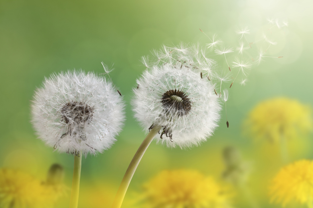 Two dandelions in a field of green and gold - shared by Liz Posmyk on Good Things