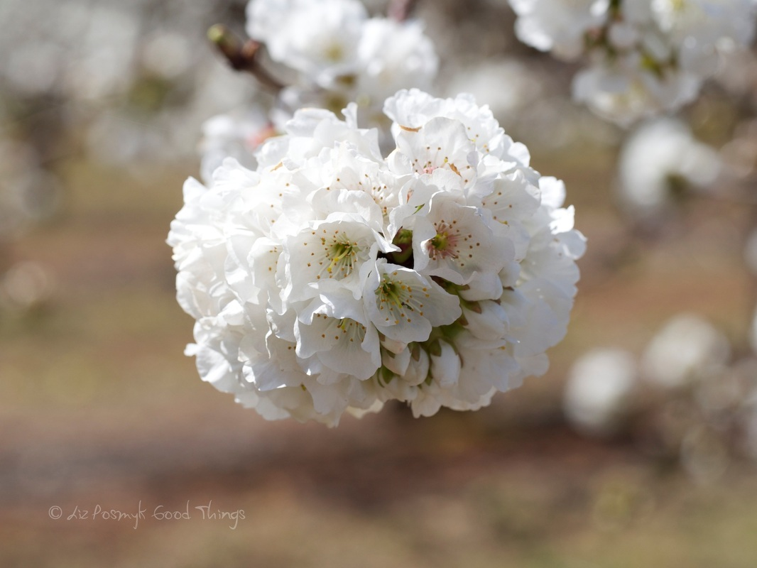 Cherry Blossoms by Liz Posmyk, Good Things