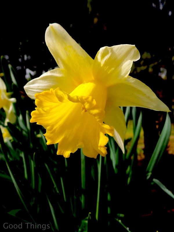 Daffodil in the garden
