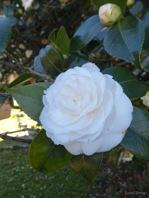 Stunning white camellia t Laurel View farm stay in the NSW Southern Highlands by Liz Posmyk Good Things