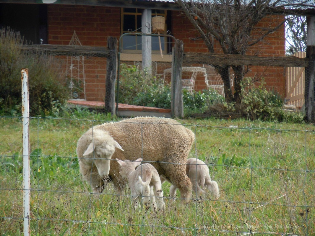 Sheep with baby lambs at Cooma Cottage in Yass, NSW