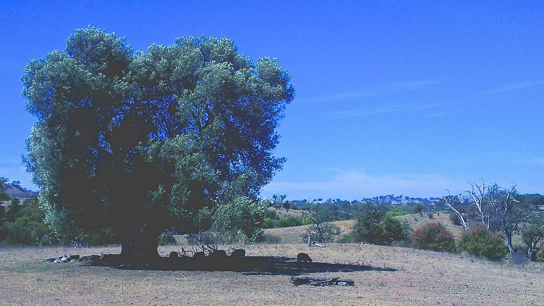 160-year old olive tree at Cooma Cottage with Australian landscape in the background - Liz Posmyk Good Things