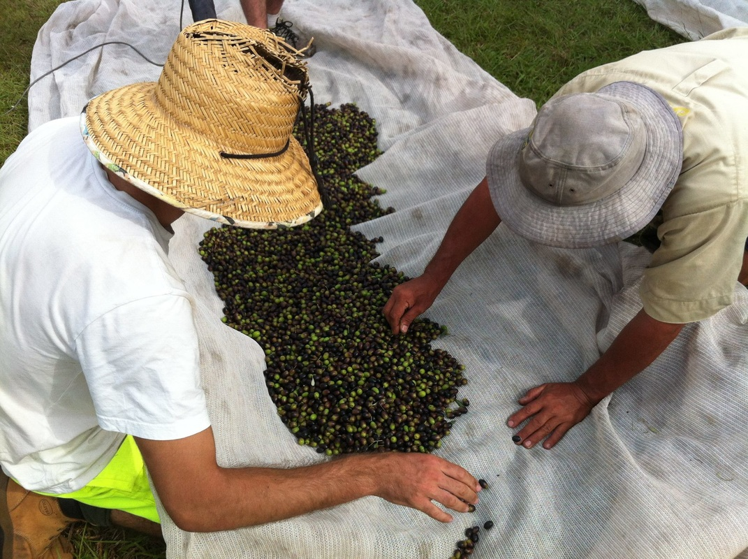 2015 Autumn Harvest Kangaroo Valley Olives - image courtesy Brenda Sambrook