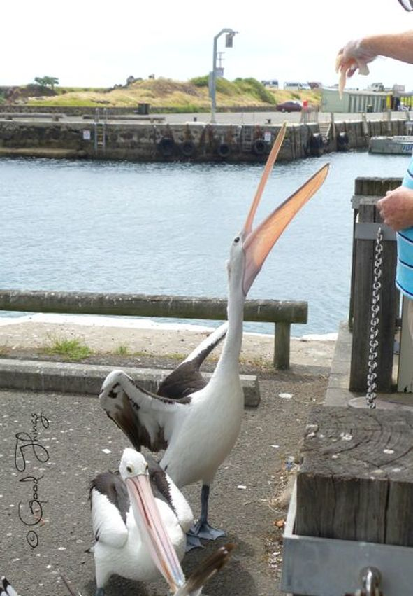 Pelicans being fed fresh fish at the harbour in Kiama, NSW Australia, by Liz Posmyk Good Things