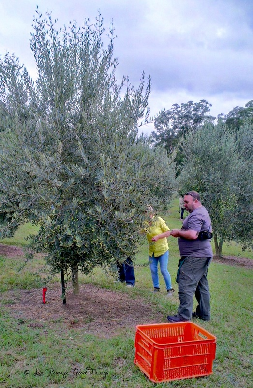 Harvesting olives at Wombat Ridge, Kangaroo Valley Olives
