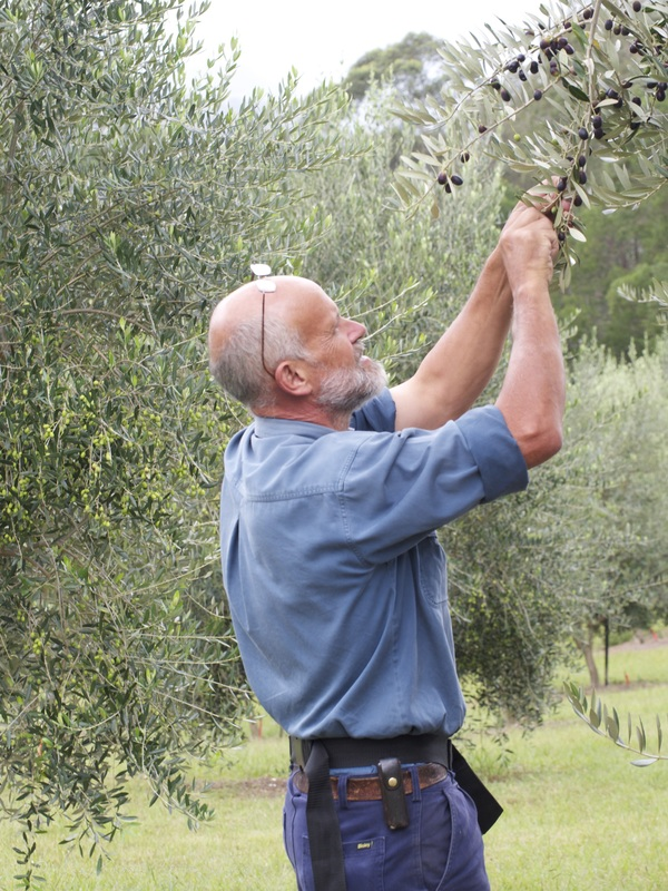 Wombat Ridge olive farm manager Dean Devenish, harvesting olives