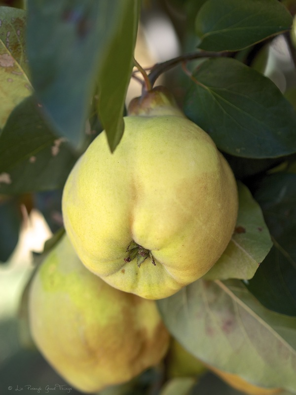 Quinces growing in the garden near the outbuildings at Cooma Cottage Yass - photo Liz Posmyk Good Things