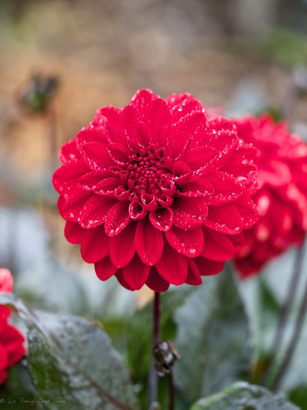 Rain drops on dahlias in the gardens at Sahali in the Kangaroo Valley NSW