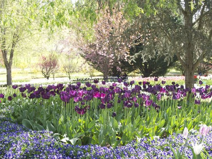 Lilac corner - tulips at Tulip Top Gardens by Liz Posmyk Good Things