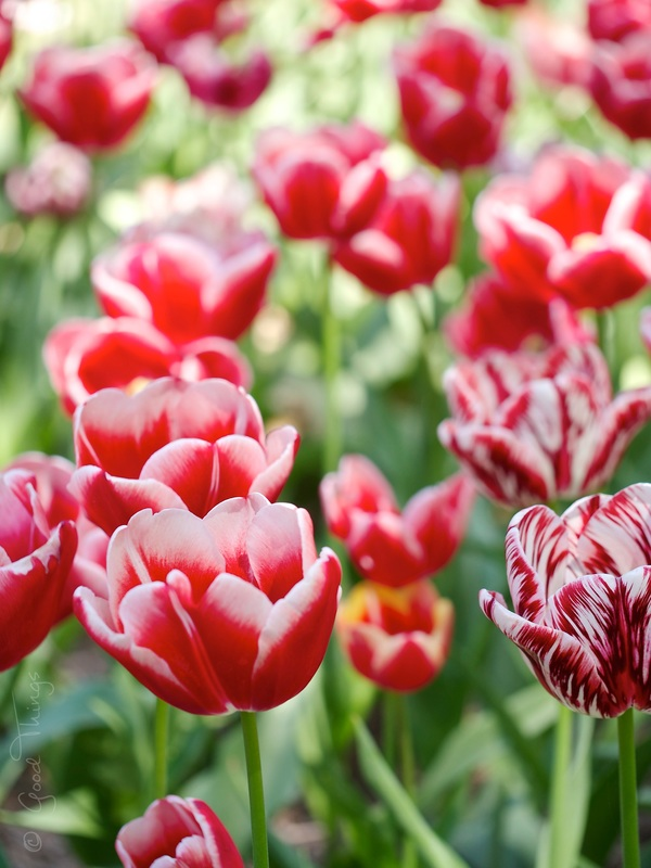 Red alert - tulips at Tulip Top Gardens by Liz Posmyk Good Things