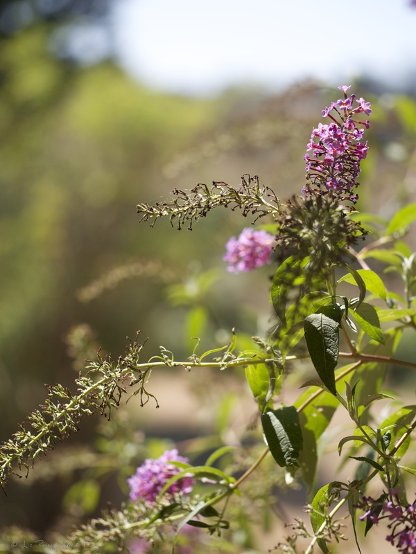 Buddleja davidii or butterfly bush at Cooma Cottage - Liz Posmyk Good Things