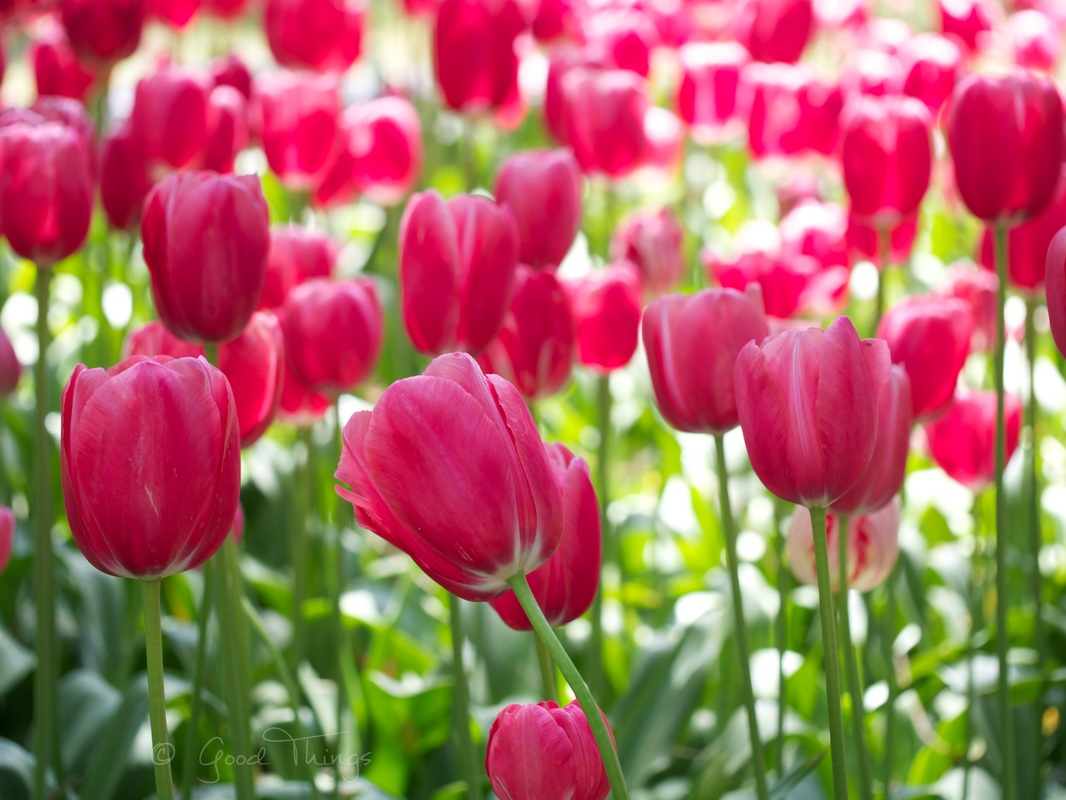 Pretty in pink - tulips at Tulip Top Gardens by Liz Posmyk Good Things