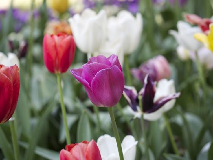 Massed colour - tulips at Tulip Top Gardens by Liz Posmyk Good Things
