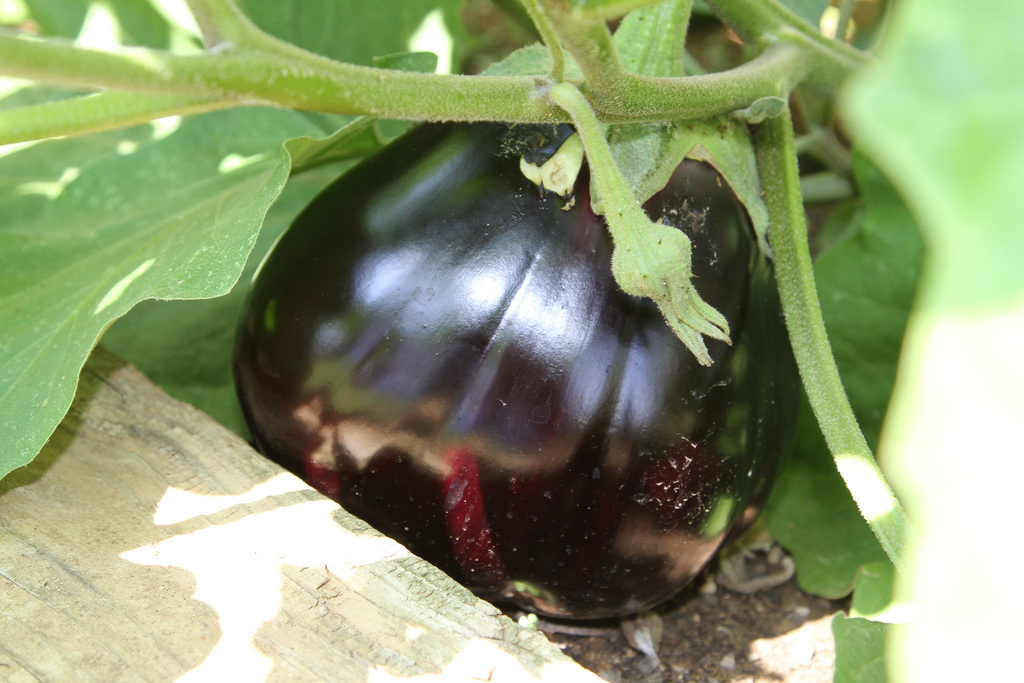Aubergine growing on the vine
