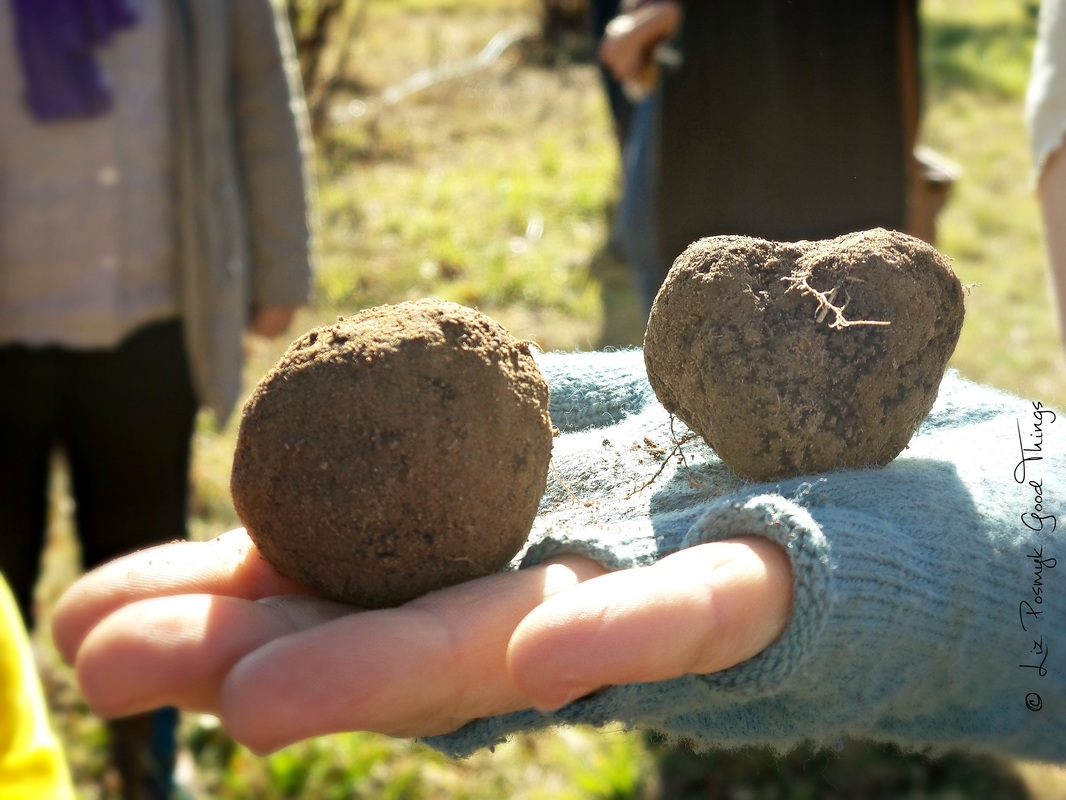 French black truffles freshly dug from the earth - photo by Liz Posmyk Good Things