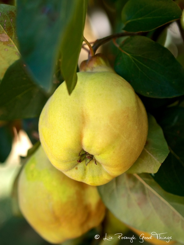 Quinces on tree - still life by Liz Posmyk Good Things