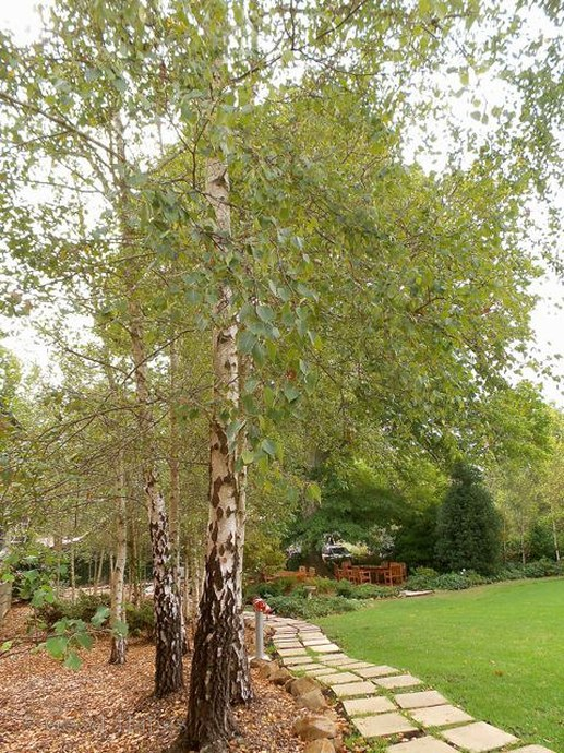 Silver Birch trees line the garden path outside the Garden Wing at Peppers Manor House - photo Liz Posmyk Good Things