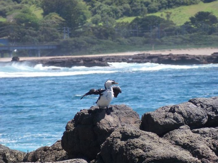 A waterbird suns itself on the rocks after a dip in the rockpool at Kiama - Liz Posmyk Good Things